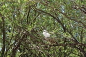 Red-footed booby chick in a nest in a mikimiki tree - such a curious little fluff ball!