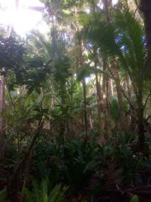 Kahaia, pu'atea and other native species grow amongst the coconut plantations